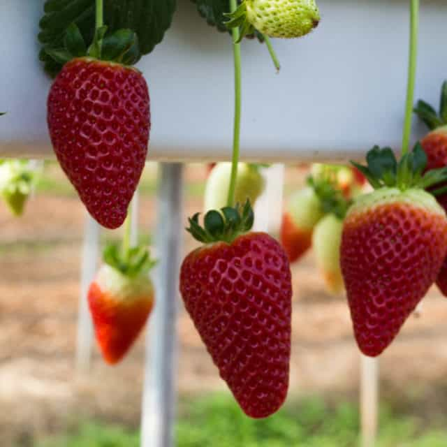 coltivazione di fragole in idroponica fuorisuolo