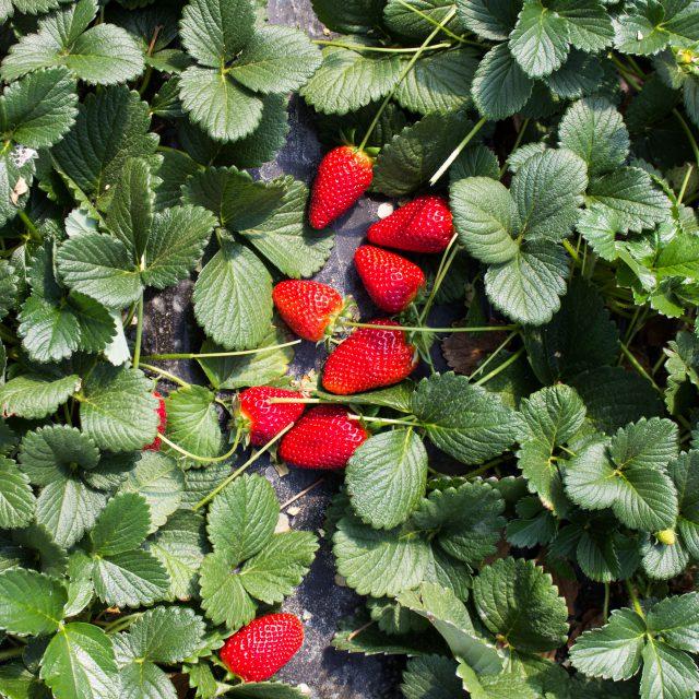 letto di fragole su pianta