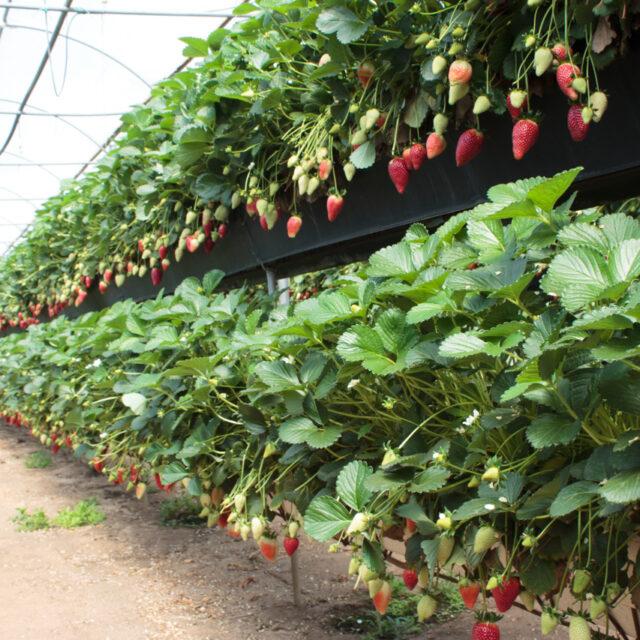 fragola sabrina coltivata con sistema fuori suolo in calabria azienda galati vito